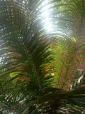Areca PalmPlants stock foto