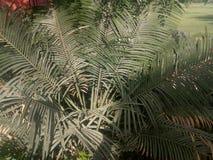 Areca PalmPlants royalty-vrije stock afbeelding