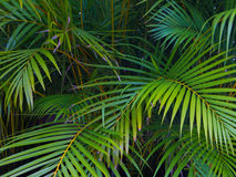 Areca plants foliage. Green tropical areca fresh leaves making a beautiful pattern stock photography