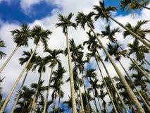 Free Areca Tree Stock Image - 38093461