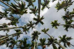Areca tree. And blue sky Stock Image
