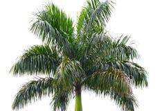 Areca tree. Areca Catechu Tree isolated on white background royalty free stock images