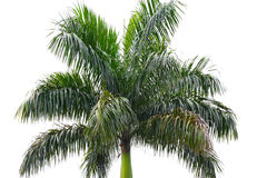 Areca tree Royalty Free Stock Images