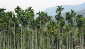 Areca trees. Hills and trees, ooty, tamilnadu, india stock photos