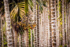 Areca Valley Royalty Free Stock Image
