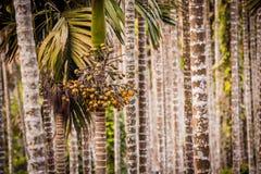 Areca Valley Royalty Free Stock Image