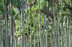 Areca wood grove Royalty Free Stock Image