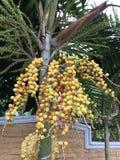 Arecacatechuen eller Pinang gömma i handflatan eller Betelpalmträdet Arkivfoton