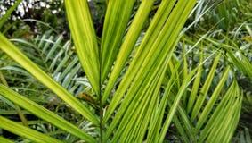 Arecacea afrikansk oljapalmträd arkivfoton
