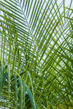 Arecaceae or Palmae Royalty Free Stock Photo