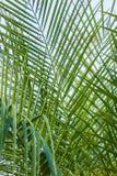 Arecaceae ή Palmae Στοκ φωτογραφία με δικαίωμα ελεύθερης χρήσης