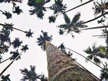 Arecanut δέντρα Στοκ Φωτογραφία