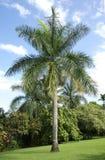 Arecanut δέντρο, Maui Στοκ Φωτογραφία
