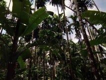 Arecanut δέντρα Στοκ φωτογραφία με δικαίωμα ελεύθερης χρήσης
