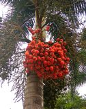 Arecanut Arecanut δέντρο Areca φοίνικας Στοκ Εικόνες