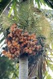 Arecanut φοίνικας και καρύδια Στοκ Φωτογραφίες