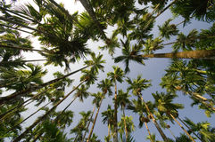 Arecanut palms superwide vertical. Arecanut palm trees shot vertically with a superwide angle lens royalty free stock photography