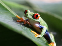 Red-eyed tree frog (58) agalychnis callidryas Stock Photos