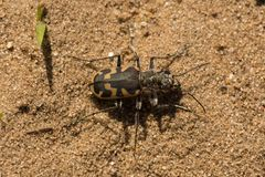 Areia grande Tiger Beetle Foto de Stock