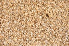 Areia havaiana da praia com o caranguejo pequeno de macio-SHELL Imagem de Stock
