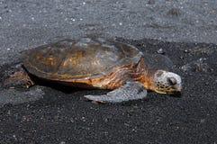 Areia preta e tartaruga de mar verde Imagem de Stock Royalty Free