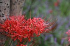 Areia vermelha de Bian Hua Higanbana Cayman do close up da flor, stramonium de Mandara do estramônio dos grânulos exterior em um  foto de stock