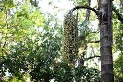 Areka catechu betel nut tree. Natural Areka catechu betel nut tree Royalty Free Stock Image