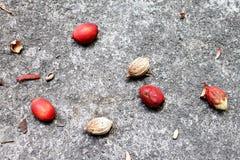 Arekanuss-Nüsse auf konkretem Boden lizenzfreies stockfoto