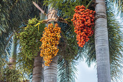Areki dokrętki palma Zdjęcie Royalty Free