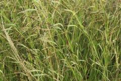 Aren van groen gras Royalty-vrije Stock Afbeeldingen