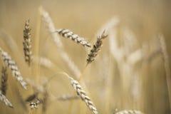 Aren van tarwe op het gebied royalty-vrije stock foto