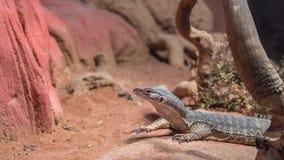 Arena Goanna, parque de la fauna de Featherdale, NSW, Australia Fotografía de archivo