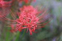 Arena roja de Bian Hua Higanbana Cayman del primer de la flor, stramonium de Mandara de la datura de las gotas al aire libre en u fotos de archivo