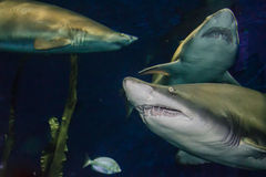 Arena Tiger Shark fotografía de archivo libre de regalías