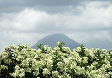 Arenal Volcano in Costa Rica. View of Arenal Volcano in Costa Rica with white flowers in foreground Stock Image