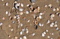 Arenaria της Mya - gaper άμμου μύδια Στοκ φωτογραφία με δικαίωμα ελεύθερης χρήσης