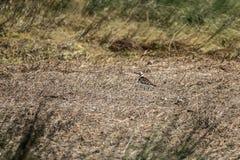 Arenaria interpres lizenzfreie stockfotografie