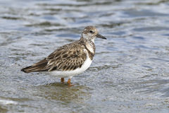 Arenaria interpres, ruddy turnstone Stock Photo