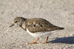 Arenaria interpres, ruddy turnstone Royalty Free Stock Images