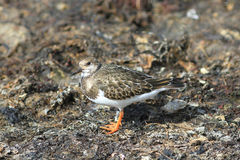 Arenaria interpres. The sandpiper in a sunny day sits in the fall on the oozy coast of a stream Royalty Free Stock Photo