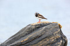 Arenaria interpres, Turnstone Stock Images