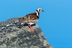 Arenaria interpres, Turnstone Stock Photos