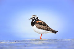 Arenaria interpres, Turnstone Stock Photo