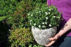 Arenaria Montana in pot Stock Foto