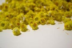 Arenarium Helichrysum ιατρικών εγκαταστάσεων ένα άσπρο υπόβαθρο Τοπ όψη Κίτρινα ξηρά λουλούδια Στοκ φωτογραφίες με δικαίωμα ελεύθερης χρήσης