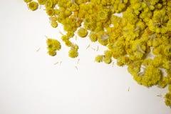 Arenarium Helichrysum ιατρικών εγκαταστάσεων ένα άσπρο υπόβαθρο Τοπ όψη Κίτρινα ξηρά λουλούδια Στοκ εικόνα με δικαίωμα ελεύθερης χρήσης
