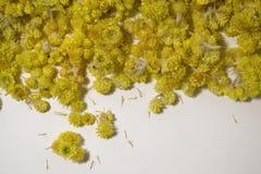 Arenarium Helichrysum ιατρικών εγκαταστάσεων ένα άσπρο υπόβαθρο Τοπ όψη Κίτρινα ξηρά λουλούδια Στοκ Εικόνες