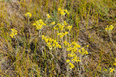 Arenarium Helichrysum στο λιβάδι Στοκ φωτογραφίες με δικαίωμα ελεύθερης χρήσης