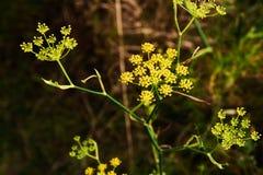 Arenarium Helichrysum στο λιβάδι Στοκ εικόνες με δικαίωμα ελεύθερης χρήσης