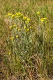 Arenarium Helichrysum στο λιβάδι Στοκ εικόνα με δικαίωμα ελεύθερης χρήσης